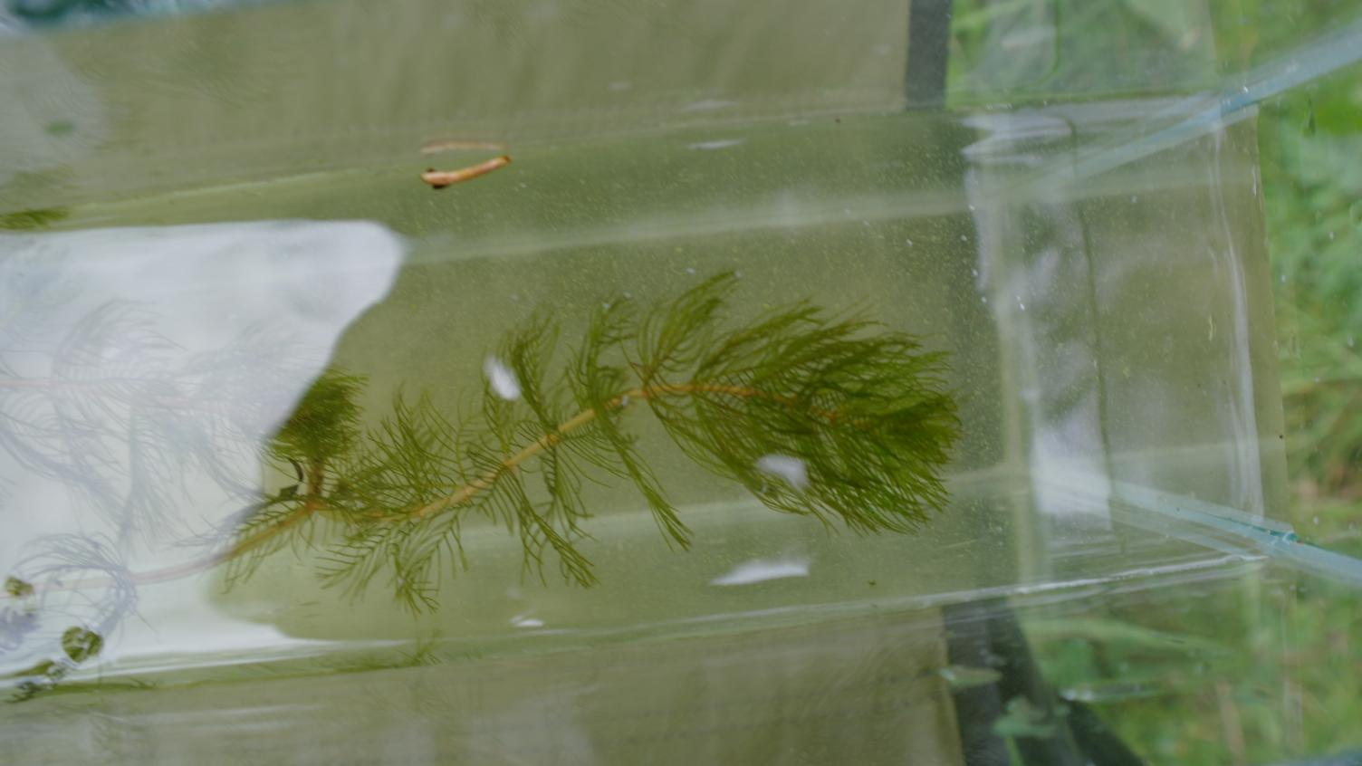 Klicke auf die Grafik für eine größere Ansicht  Name:quirlblättriges Tausendblatt  Myriophyllum verticillatum.jpg Hits:2533 Größe:87,4 KB ID:2272