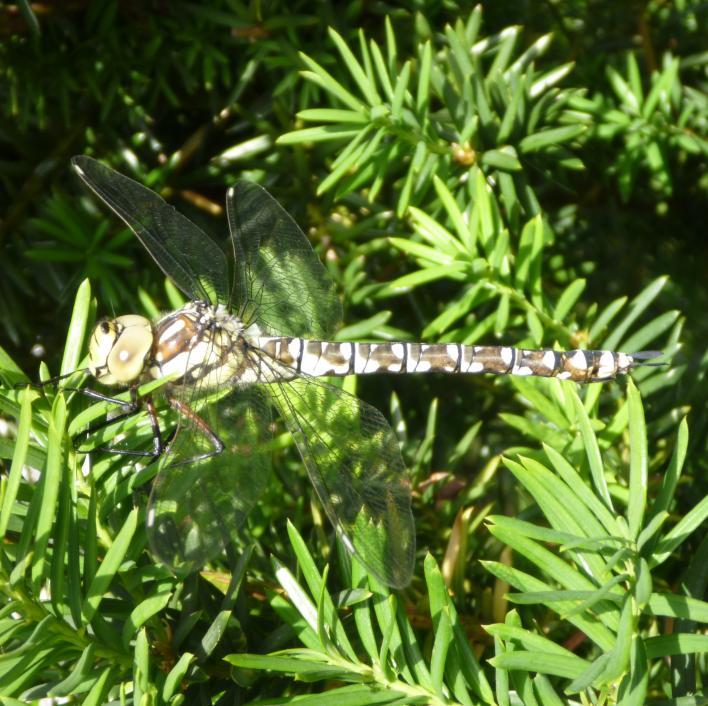 Klicke auf die Grafik für eine größere Ansicht  Name:Libelle - Blau-Grüne Mosaikjungfer 1.jpg Hits:1007 Größe:94,7 KB ID:1604