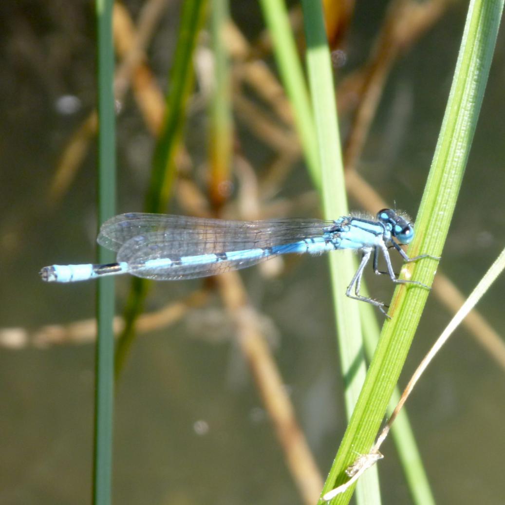 Klicke auf die Grafik für eine größere Ansicht  Name:Libelle - Hufeisen-Azurjungfer 3.jpg Hits:631 Größe:80,5 KB ID:1607