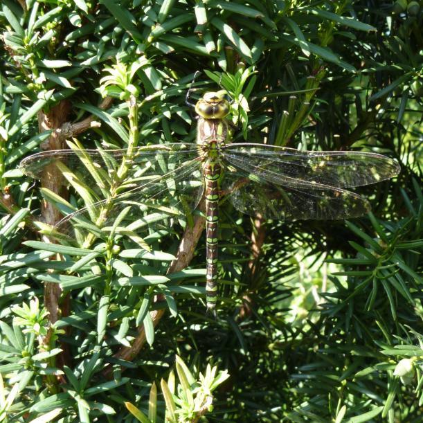 Klicke auf die Grafik für eine größere Ansicht  Name:Libelle - Blau-Grüne Mosaikjungfer 5.jpg Hits:685 Größe:102,0 KB ID:5970