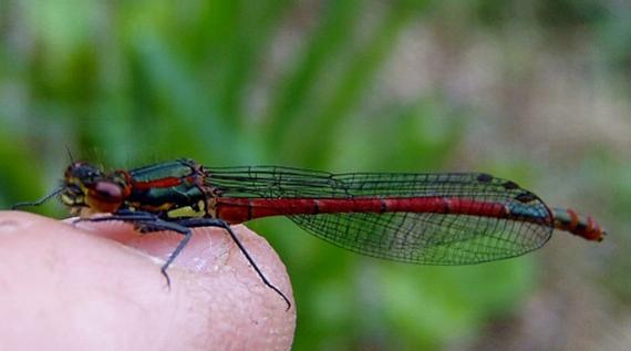 Klicke auf die Grafik für eine größere Ansicht  Name:Libelle - Frühe Adonisjungfer 2.jpg Hits:519 Größe:19,7 KB ID:4890