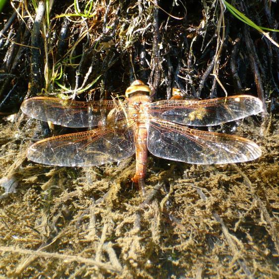 Klicke auf die Grafik für eine größere Ansicht  Name:Libelle - Braune Mosaikjungfer 2.jpg Hits:530 Größe:103,8 KB ID:114