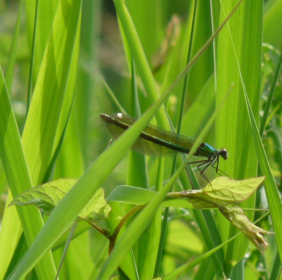 Klicke auf die Grafik für eine größere Ansicht  Name:Libelle - Gebänderte Prachtlibelle 2.jpg Hits:896 Größe:88,1 KB ID:1959