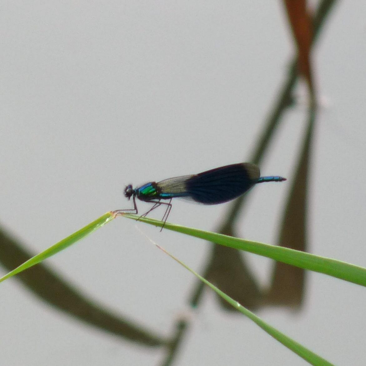 Klicke auf die Grafik für eine größere Ansicht  Name:Libelle - Gebänderte Prachtlibelle 1.jpg Hits:934 Größe:80,6 KB ID:1960