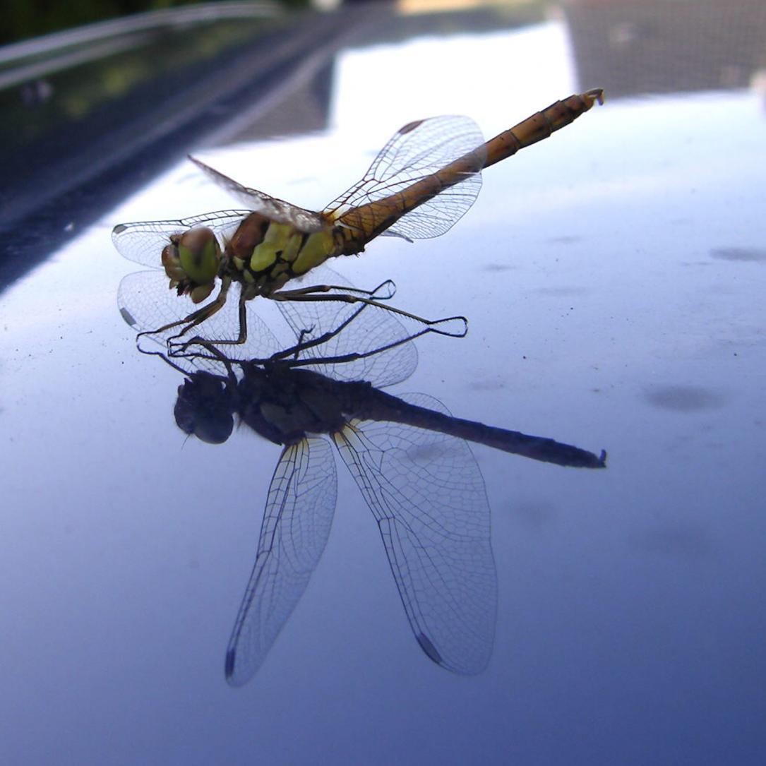 Klicke auf die Grafik für eine größere Ansicht  Name:Libelle - grosse Heidelibelle w..jpg Hits:751 Größe:81,2 KB ID:120