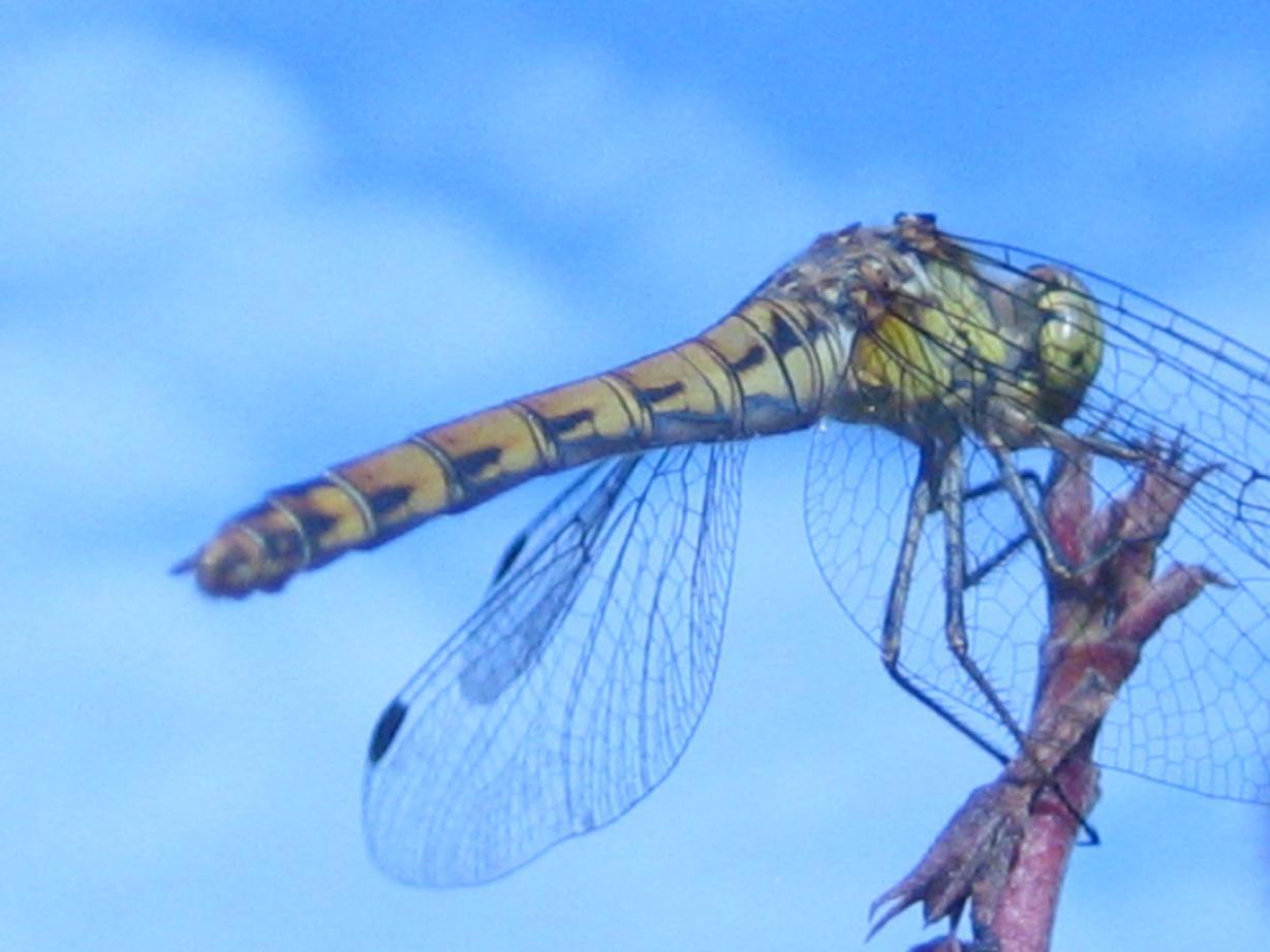 Klicke auf die Grafik für eine größere Ansicht  Name:vermutlich Weibchen von Sympetrum striolatum (Große Heidelibelle).jpg Hits:671 Größe:83,7 KB ID:335