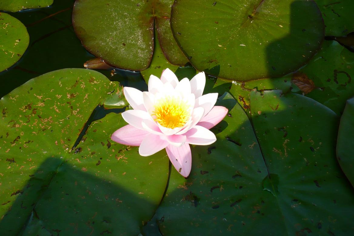 Klicke auf die Grafik für eine größere Ansicht  Name:Teichrose Nymphaea Marliacea rosea 1.jpg Hits:1380 Größe:95,2 KB ID:518
