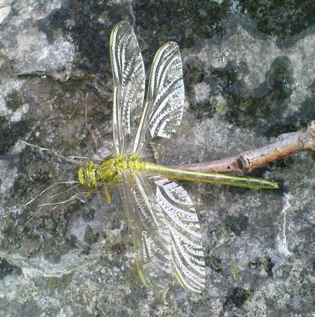 Klicke auf die Grafik für eine größere Ansicht  Name:Libelle - Westliche Keiljungfer 5.jpg Hits:590 Größe:100,8 KB ID:5797