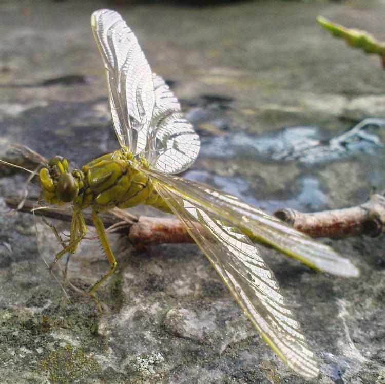 Klicke auf die Grafik für eine größere Ansicht  Name:Libelle - Westliche Keiljungfer 10.jpg Hits:701 Größe:95,8 KB ID:5798