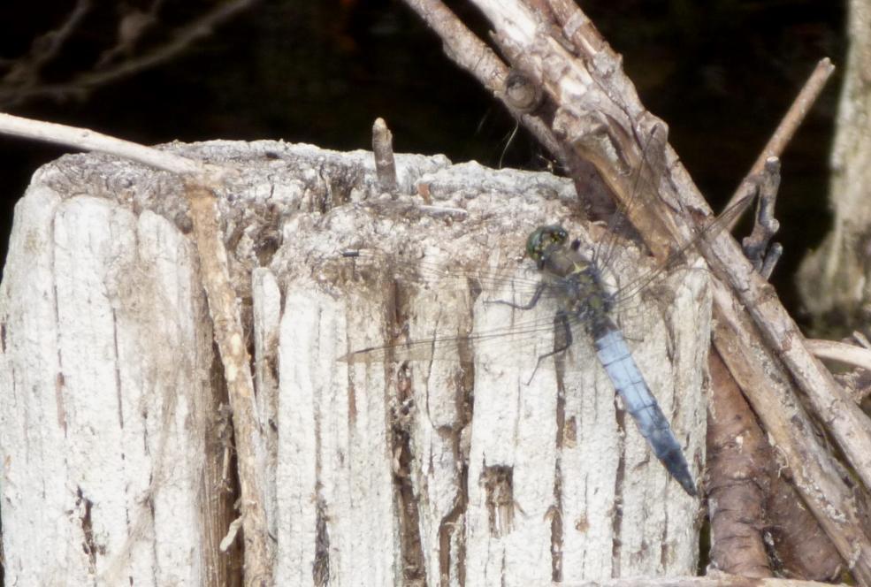 Klicke auf die Grafik für eine größere Ansicht  Name:Libelle - Grosser Blaupfeil 6.jpg Hits:219 Größe:97,9 KB ID:7480